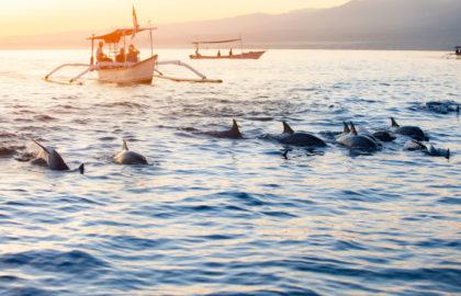 Post 22 Wild Dolphins at Lovina Beach Img1
